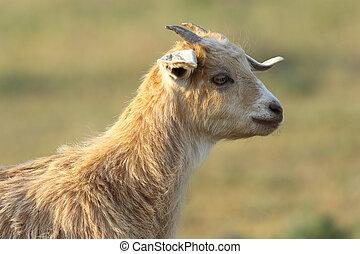 young cute goat portrait