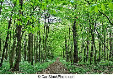 hornbeam forest in spring. - Young deciduous hornbeam forest...