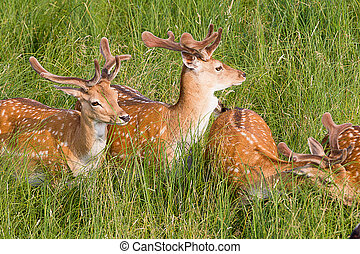 Young deer are resting in a meadow
