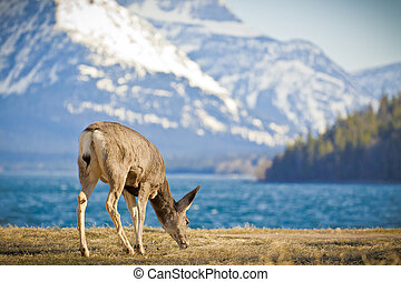Young Deer Feeds by Lake Side - A young deer feeds on...