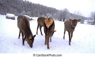 young deer in the pens of a deer farm in winter