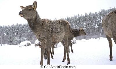 young deer in the pens of a deer farm in winter.