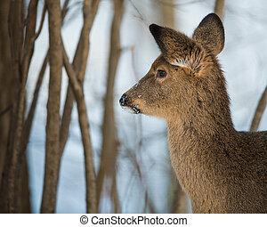 Young Deer in the Woods in Winter