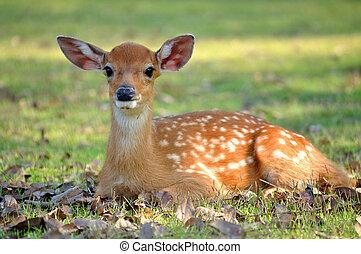 young deer - The Sika deer is one of the few deer species...