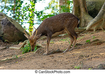 young deer thin horns fluffy brown spotted cute wild animal grazes on the ground looking for food