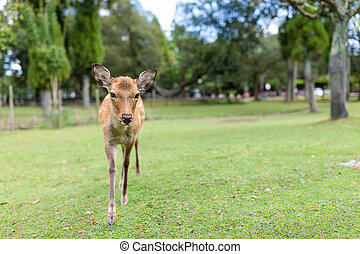 Young Deer walking in a park