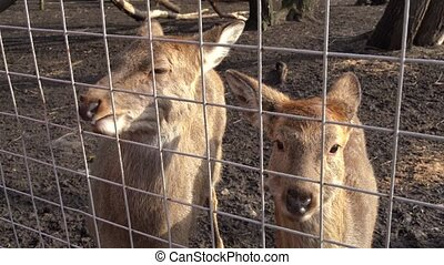 Young deers behind bars in zoo cage. Woman feeding stags in capture of zoo cage through metal bars