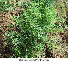 Young dill growing on soil