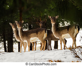 Young doe, female deers standing in the snow forest during winter in Austria