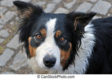 Young dog breed Border Collie.