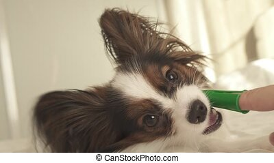 Young dog breeds Papillon Continental Toy Spaniel brushes...