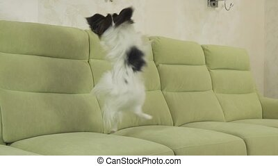 Young dog breeds Papillon Continental Toy Spaniel dog...