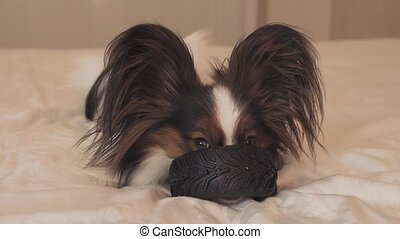 Young dog breeds Papillon Continental Toy Spaniel gnaws...