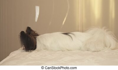 Young dog breeds Papillon Continental Toy Spaniel lies on...