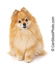 young dog loulou of Pomerania spitz on the white background