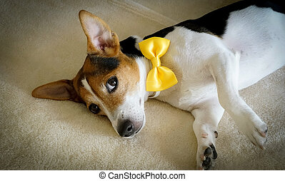 Young dog lying on the bed with yellow tied bow