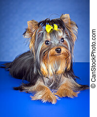 Young Dog Yorkshire Terrier - Young Yorkshire Terrier on a...