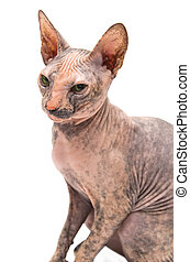 Young Don Sphynx