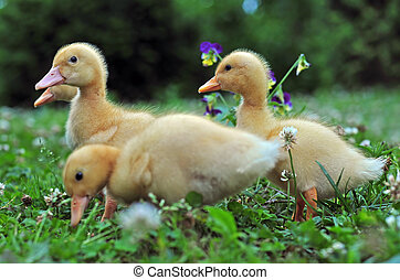 Photo of young ducks in a grass