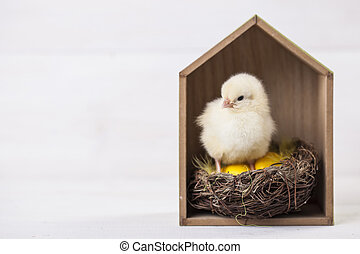 Young easter chicken in home, easter concept