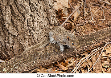 An Eastern Gray Squirrel sits on a tree branch on the forest floor.