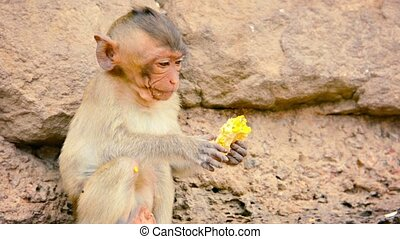 Young Eating Macaque Devouring Stolen Goods