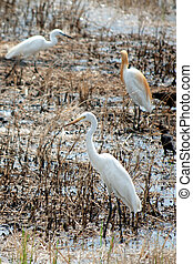 Young Egret walking on the paddy field in search of food.
