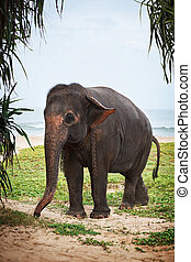 Young elephant on the beach