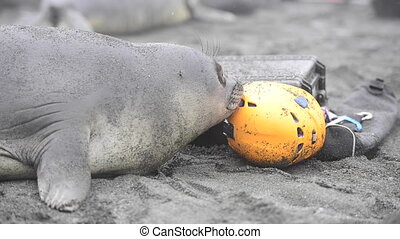 Young elephant seal