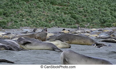 Young Elephant seals fight at South Georgia