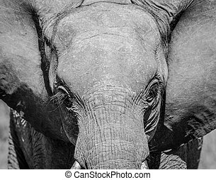 Young Elephant starring in black and white the Kruger National Park.