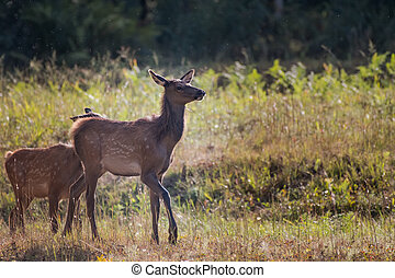 Young Elk at Attention