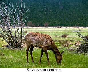 Young Elk Grazing in Spring