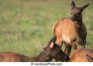 Young Elk Play in Field