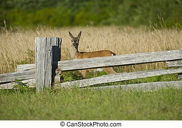 Young Elk - Redwood Forest Meadow. North California, USA. Wildlife Collection.