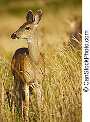 Young Elk Vertical Photography. Elk in Grass - Northern California, USA. Animals Photo Collection.