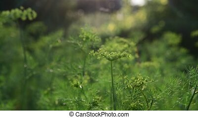 Young emerging umbrellas with dill seeds - Young emerging...
