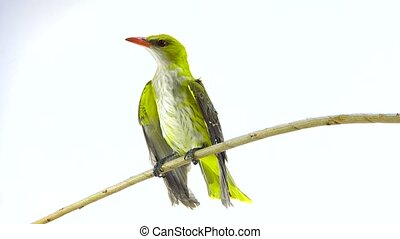Young Eurasian Golden Oriole (Oriolus oriolus) isolated on a...