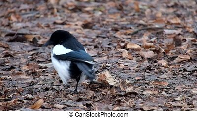 Young Eurasian magpie is looking for food on the ground (Pica pica)