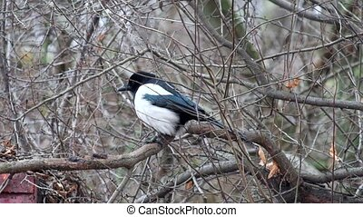 Young Eurasian magpie sits on a branch and looks around with interest (Pica pica)
