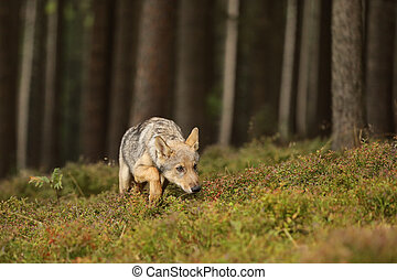 Young Eurasian wolf sniffing in forest - Canis lupus