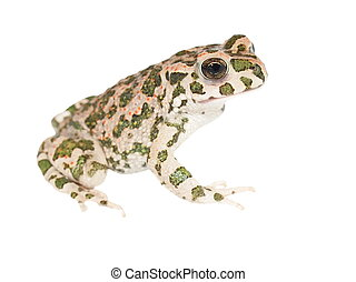 Young european green toad isolated