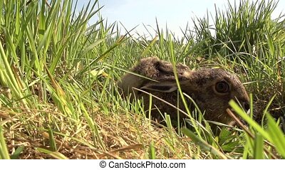 young european hare very close