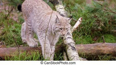 Young european lynx cub walks in the forest - Cute european...