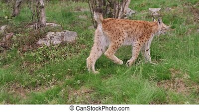 Young european lynx walking in the forest a summer evening -...