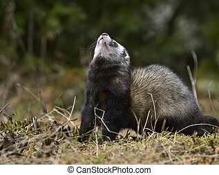 European polecat - Young European polecat in the wild woods