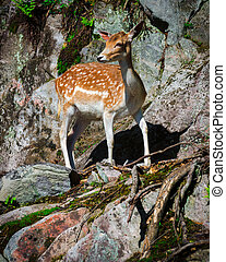 A small, young fallow deer fawn stands looking on a stone rock face.