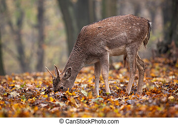 Young fallow deer feeding in forest in autumn nature.