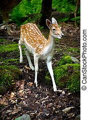 A young, fallow deer fawn (Dama dama) in its natural habitat.