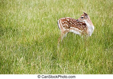 Young fallow deer in the nature